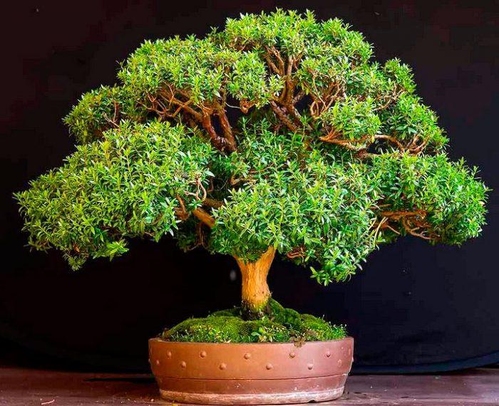 миртовое дерево