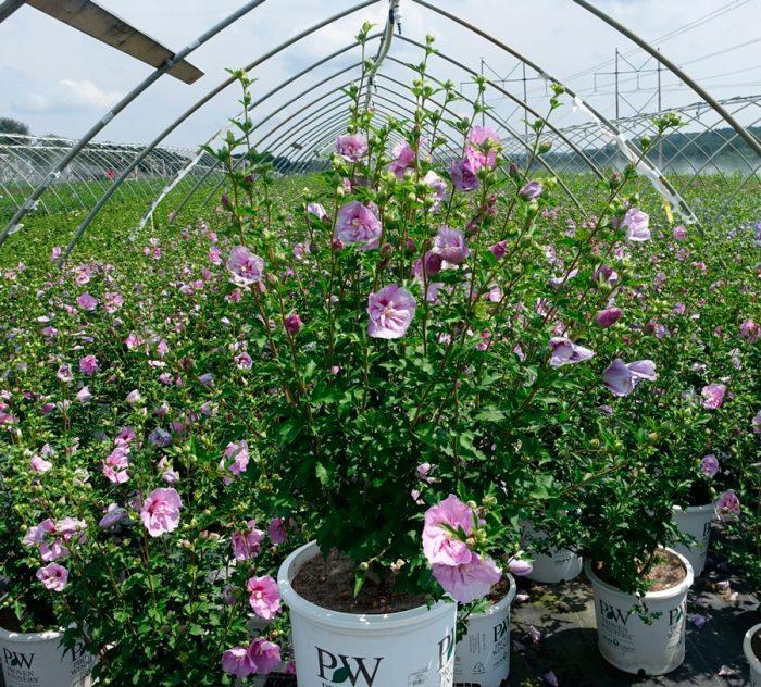 Размножение садового гибискуса