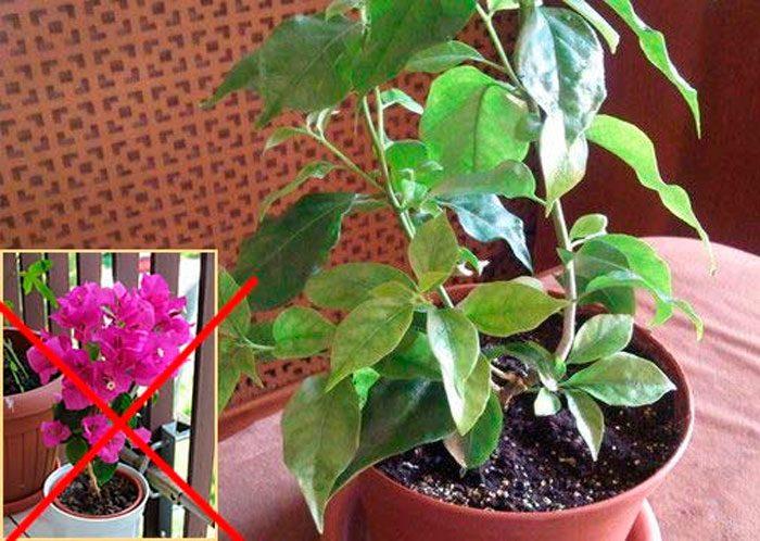 Почему бугенвиллия не цветет