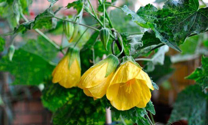 Абутилон variegata