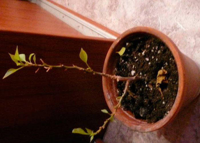 бугенвиллия опадают листья