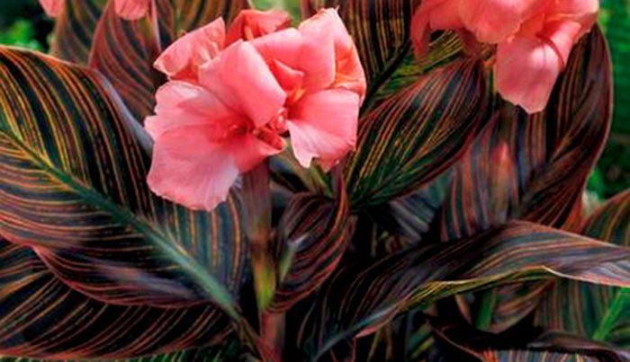 Мелкоцветковые (лиственные) канны