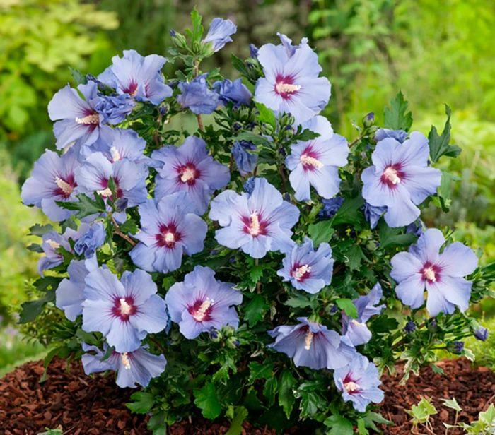 Гибискус после цветения
