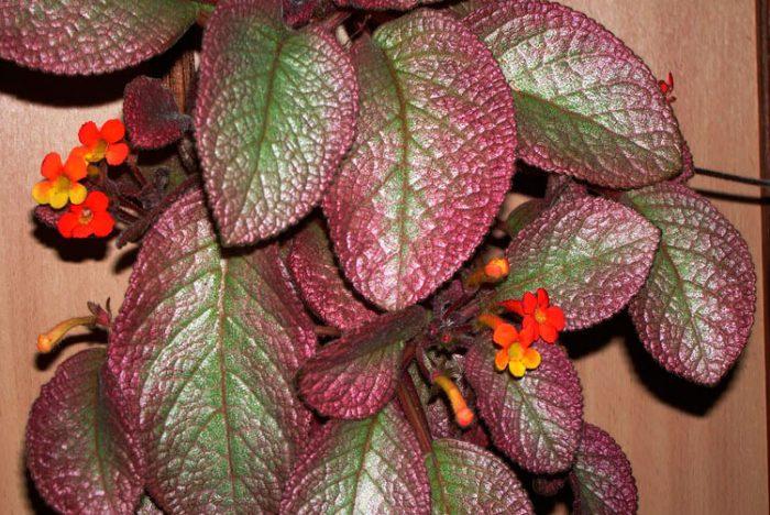 Тюльпаны в горшке в домашних условиях: выращивание, выгонка 81