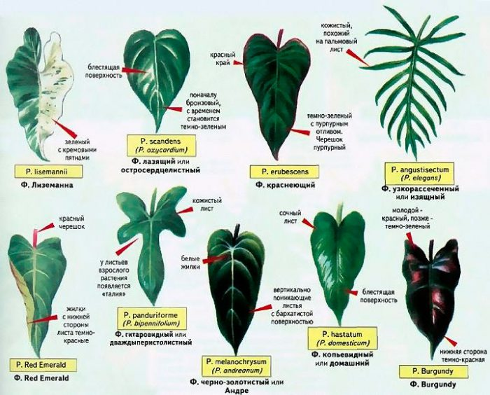 Филодендрон виды