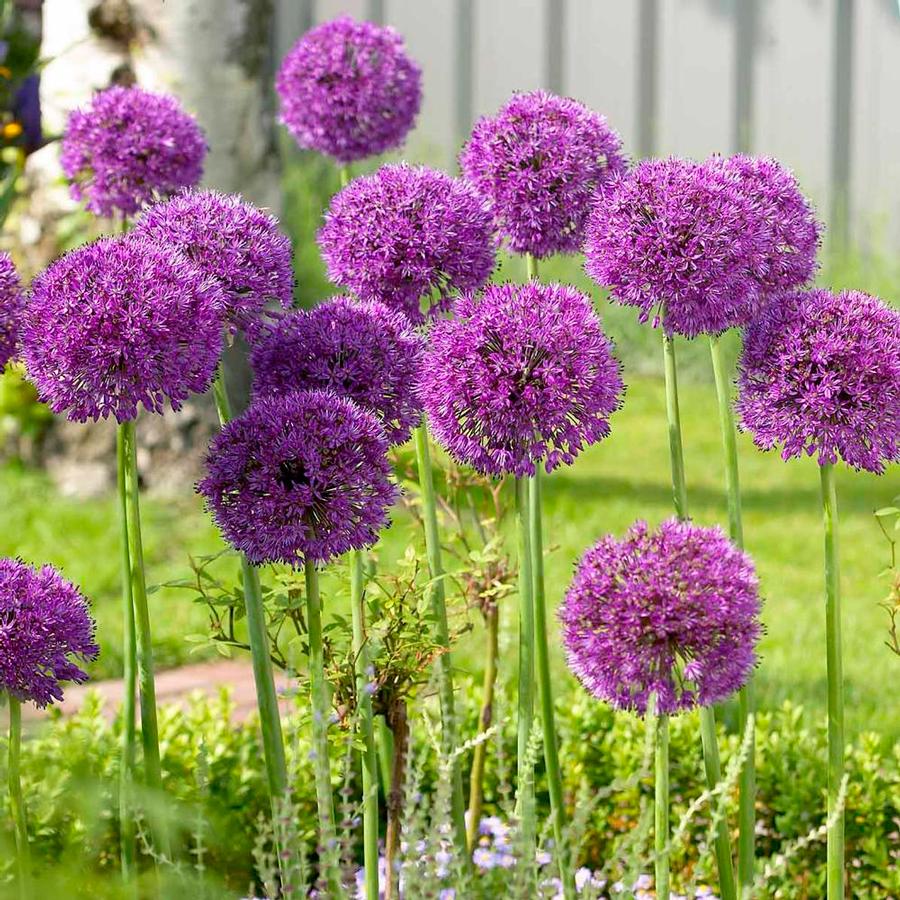 Как выращивать декоративный лук посадка и уход в открытом грунте
