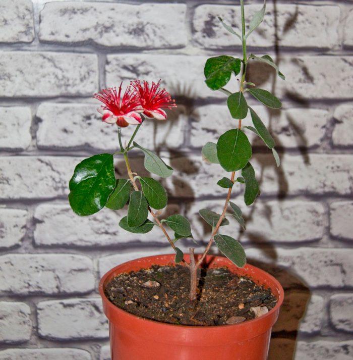 Выращивание фейхоа в домашних условиях