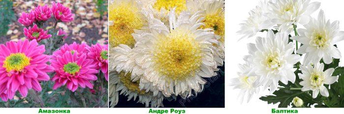 Простые хризантемы