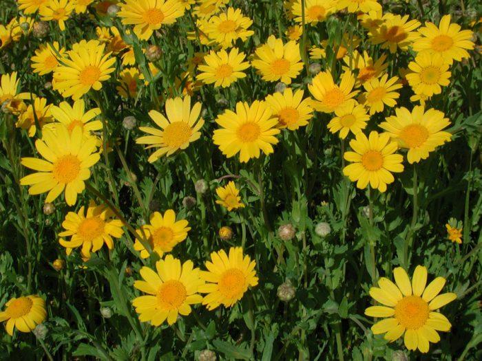 Хризантема полевая, или посевная