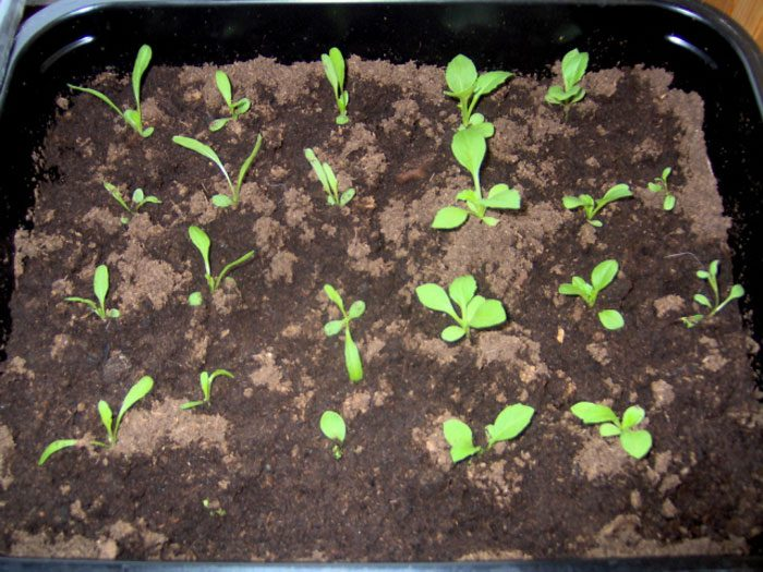 Посев на рассаду