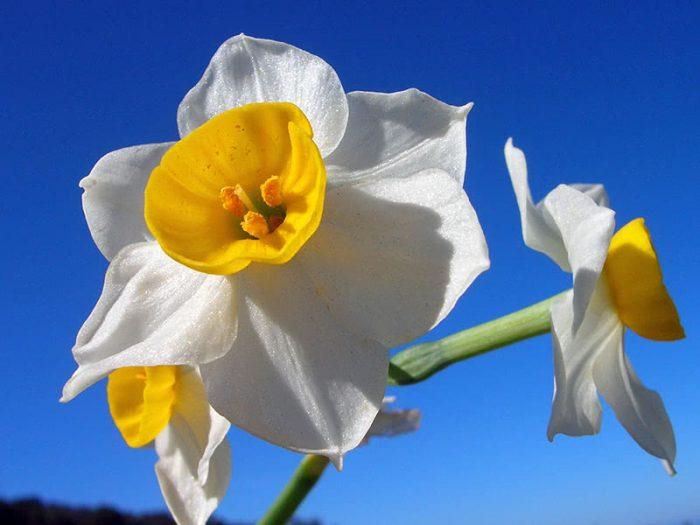 Многоцветковые, или тацетовидные (Tazetta, Bunch-flowered)