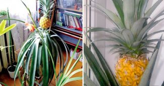 Как вырастить ананас в домашних условиях