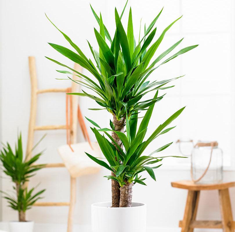 Как содержать пальму юкка в квартире