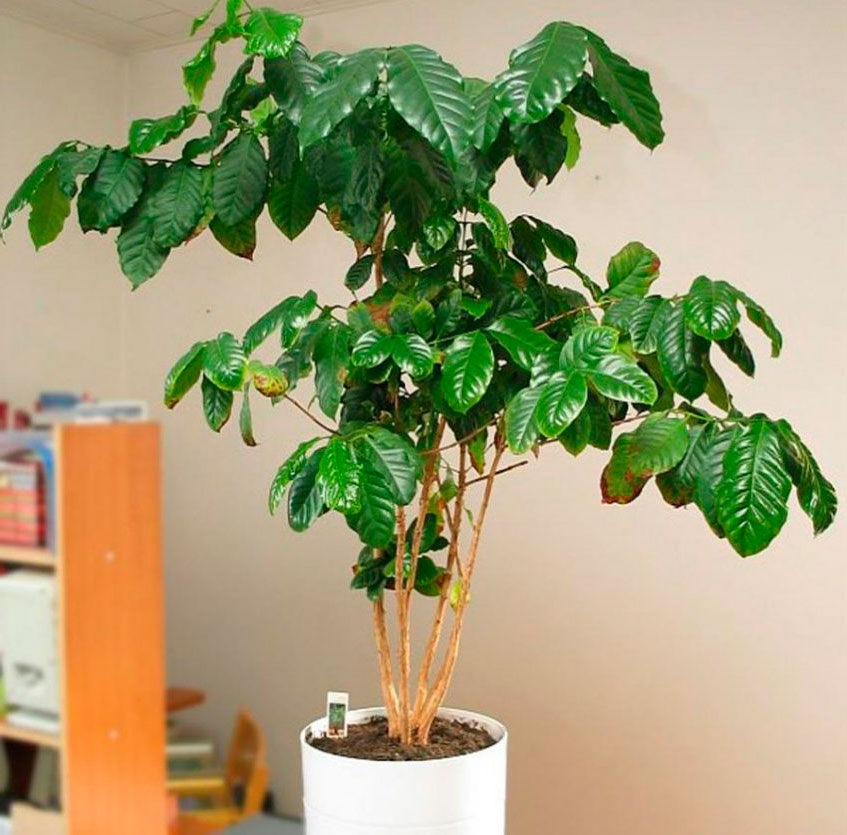 Как вырастить кофейное дерево в домашних условиях: способы выращивания