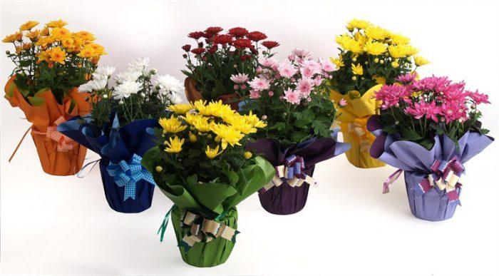 Покупка хризантемы
