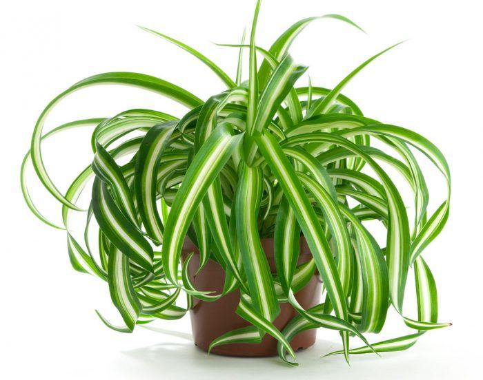 вертикальное озеленение помещений хлорофитум