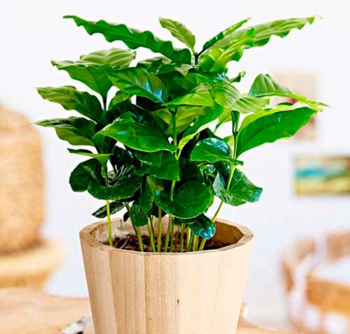 Карликовое кофейное дерево Нана