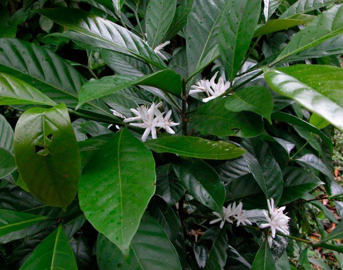 Либерийское кофейное дерево