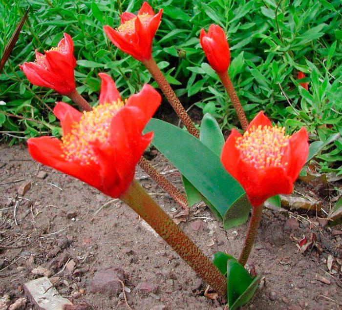 Гемантус шарлаховый