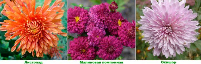 Хризантемы: агротехника посадки и ухода в открытом грунте