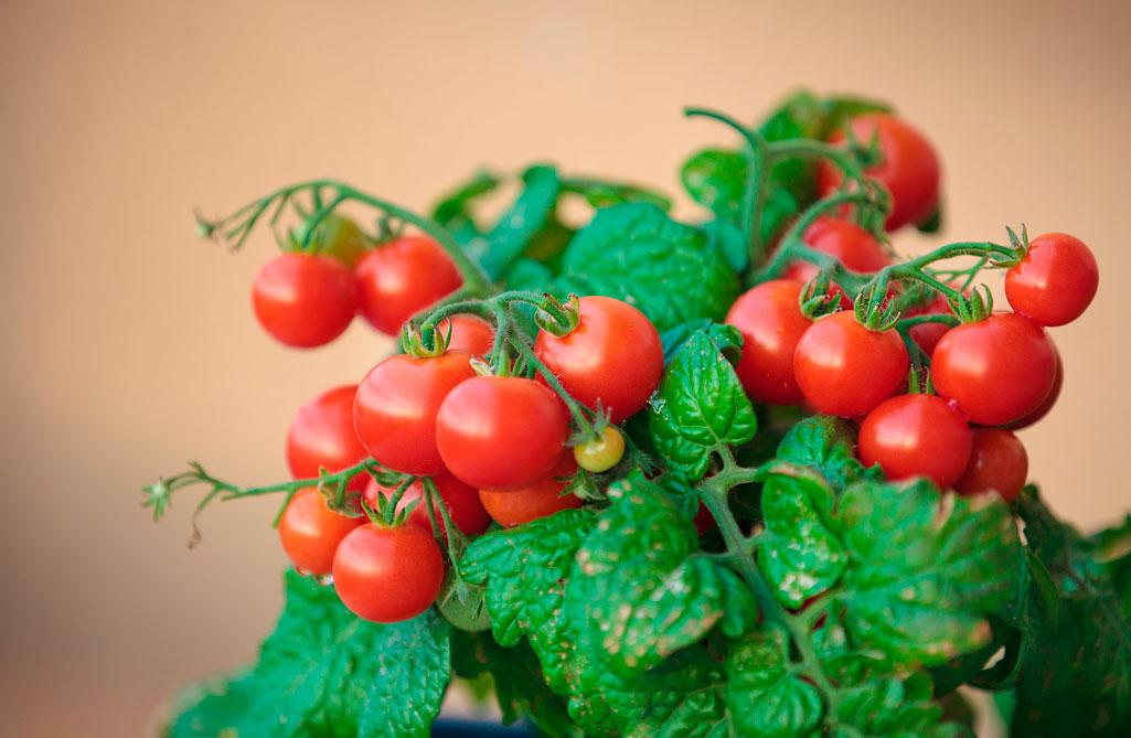 Томаты черри особенности выращивания разных