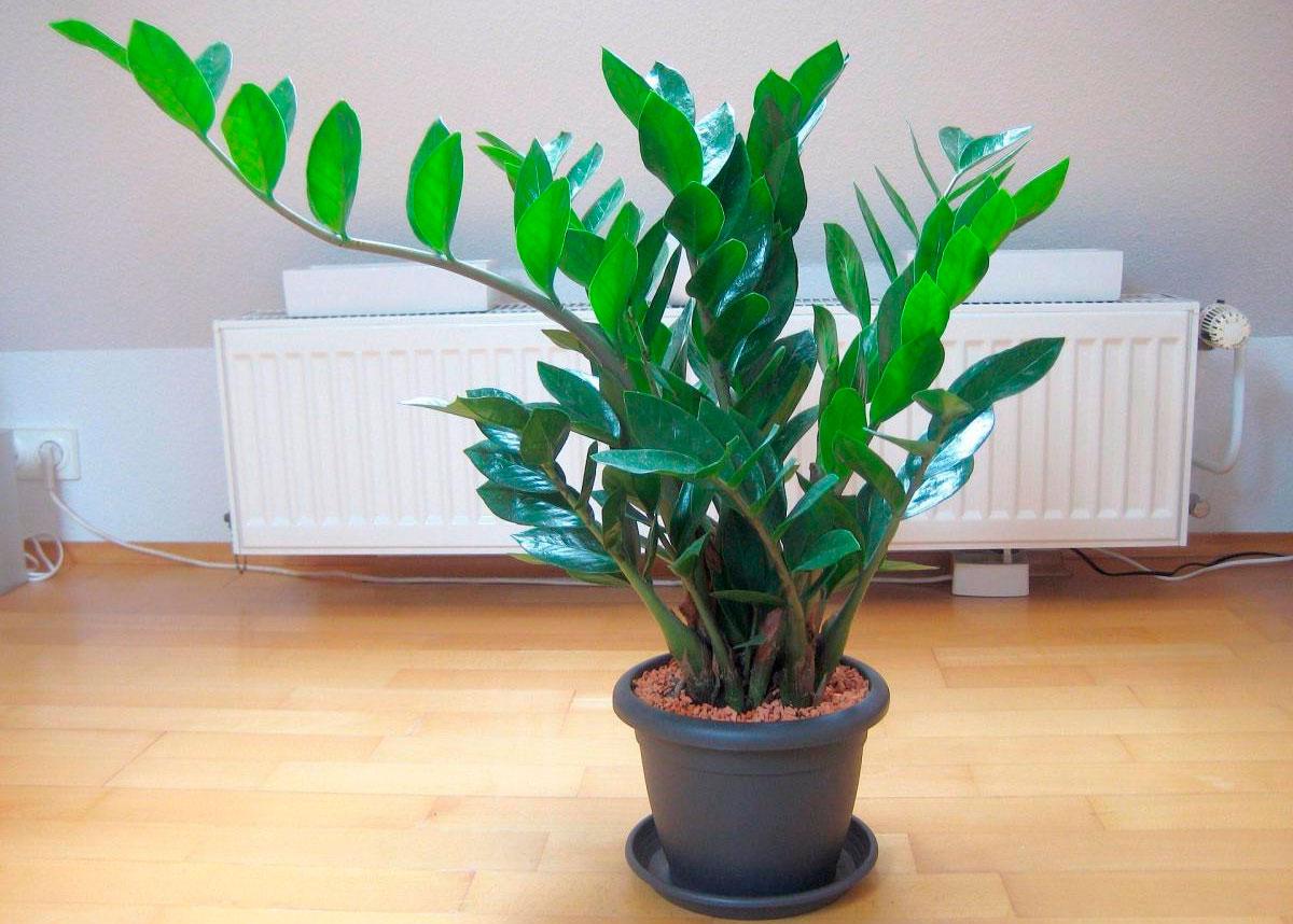 Замиокулькас (Долларовое дерево): как ухаживать в домашних условиях