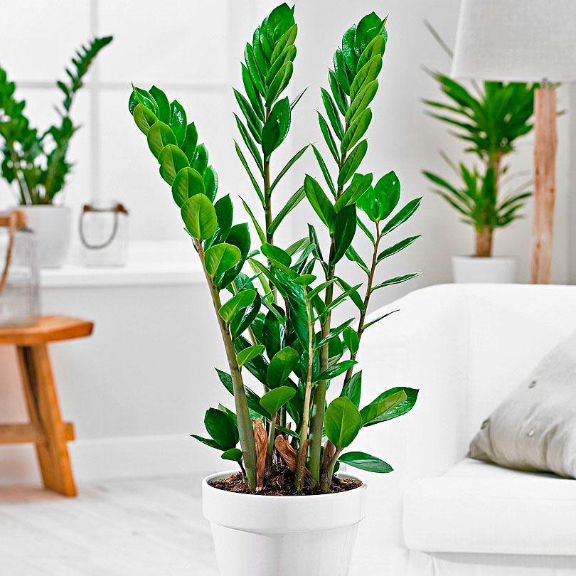 Долларовое дерево (Замиокулькас) уход в домашних условиях. Цветок замиокулькас уход в домашних условиях