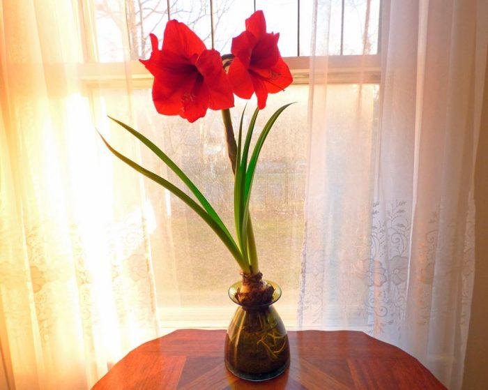 Уход за амариллисом в домашних условиях