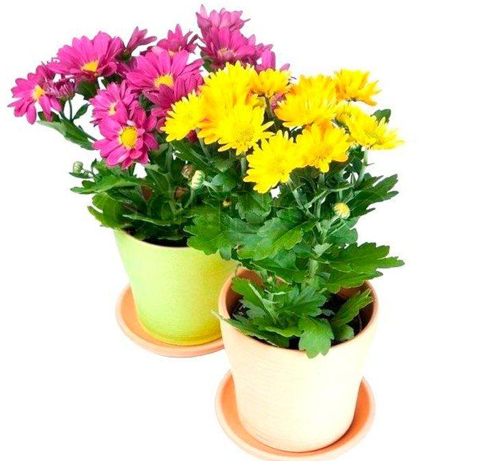 Особенности домашней хризантемы