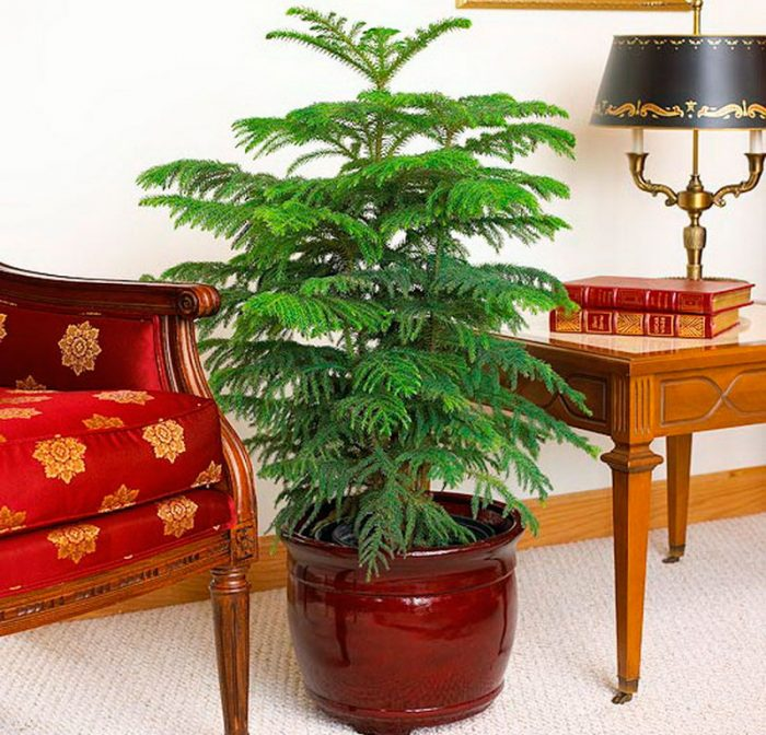 Уход за араукарией в домашних условиях