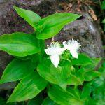 Традесканция приречная (Tradescantia fluminensis)
