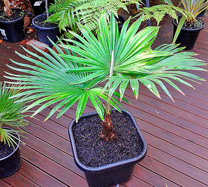 Пересадка пальмы трахикарпус