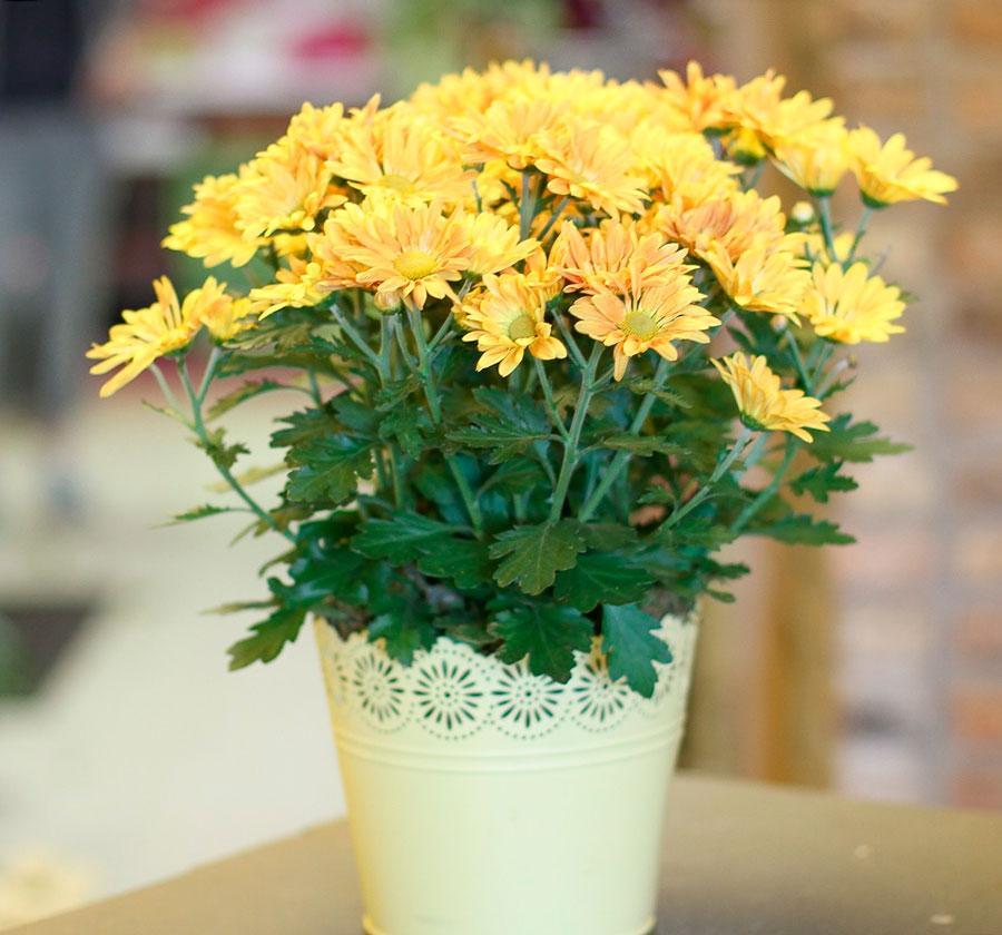 комнатное растение хризантема уход