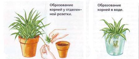Как размножить