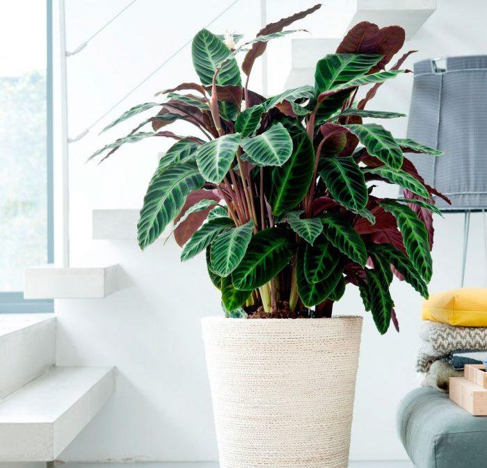 Уход за калатеей в домашних условиях