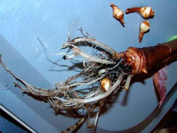 алоказия размножение