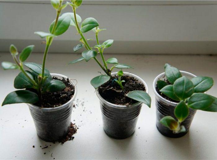 Размножение стеблевыми и листовыми черенками