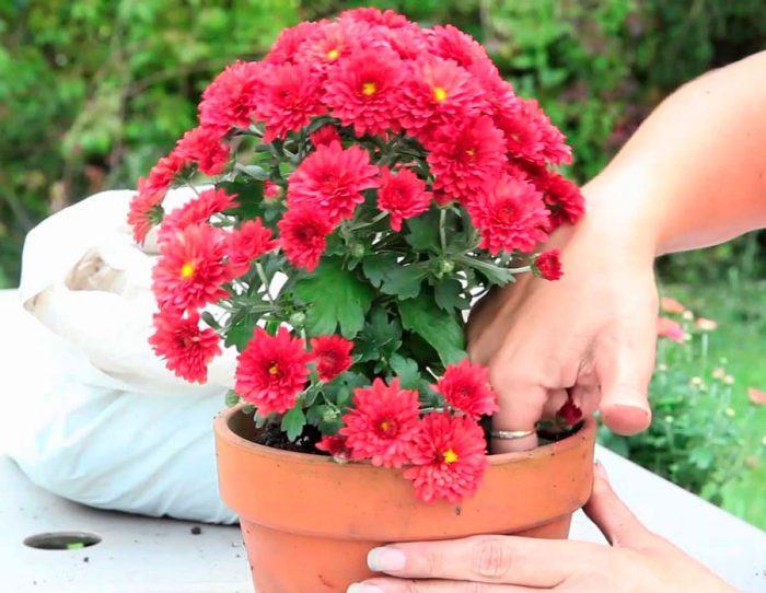 Пересадка хризантем