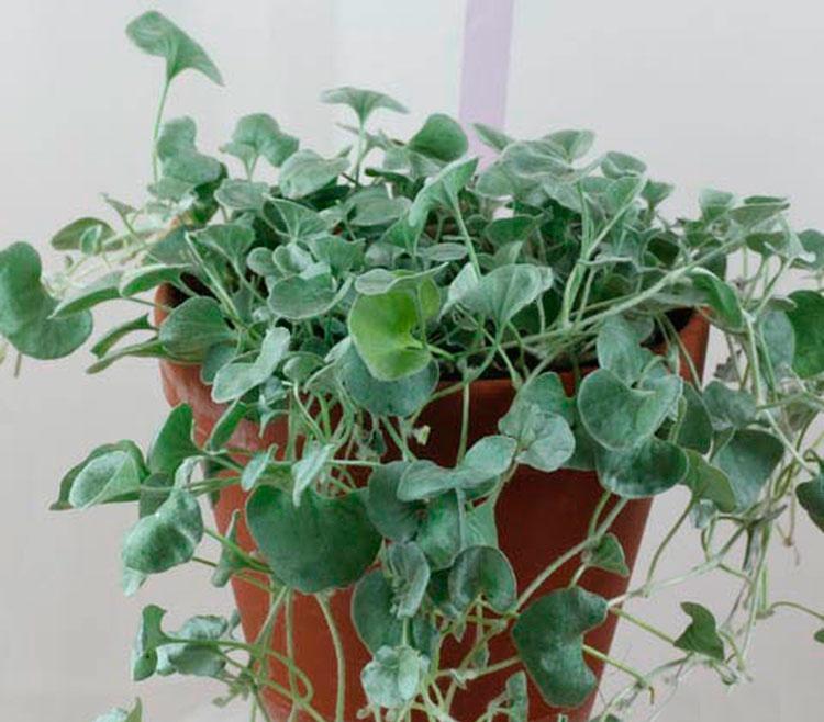 Тонкости выращивания ампельной дихондры из семян