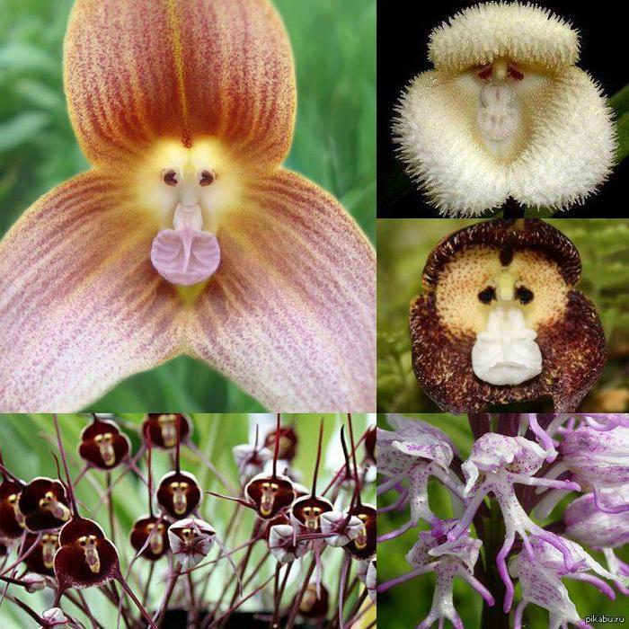 обезьянья орхидея
