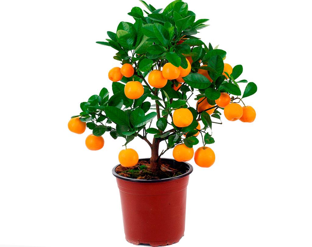 Цитрофортунелла вулкан лимон уход в домашних условиях