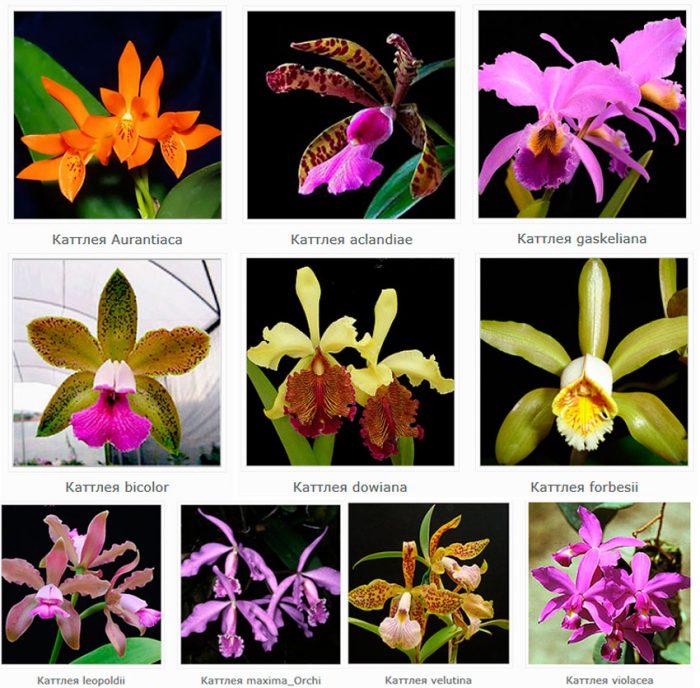 Виды орхидея Каттлея