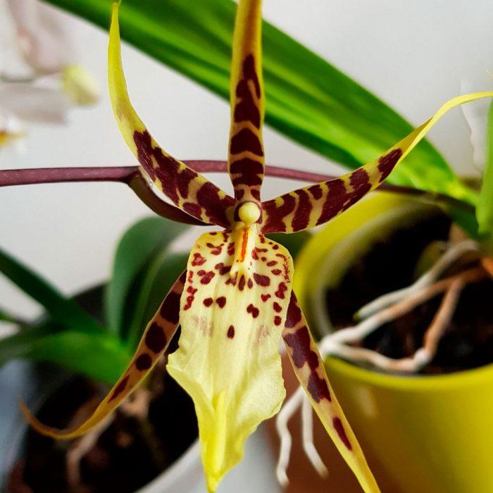 Брассия (орхидея-паук)