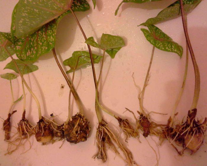 Размножение каладиума клубнями