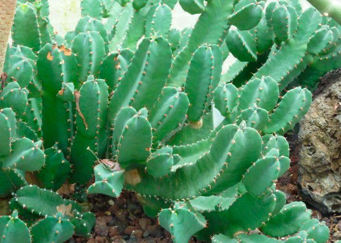 Молочай смолоносный (Euphorbia resinifera)