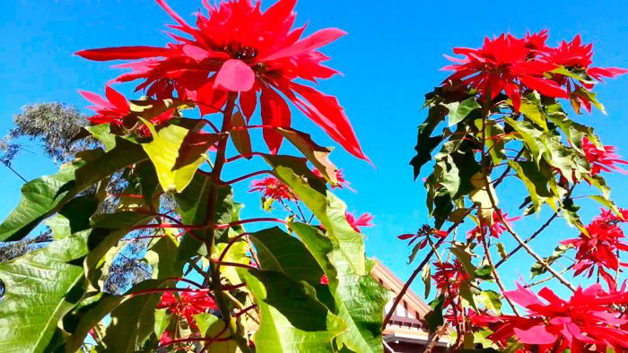 Молочай красивейший (Euphorbia pulcherrima)