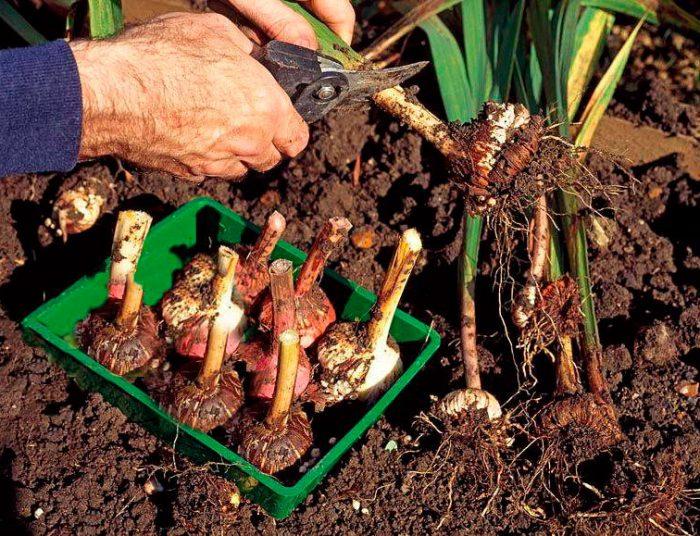 В какое время выкапывать луковицы