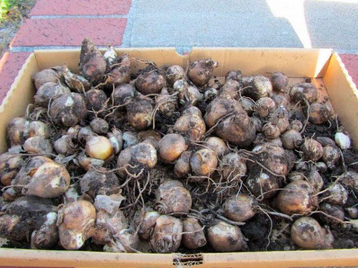 Выкапываем луковицы