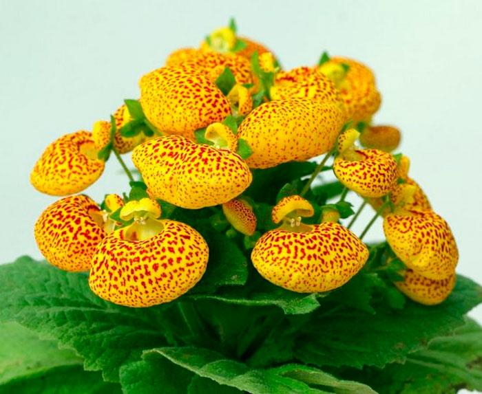 Кальцеолярия городчатоцветковая