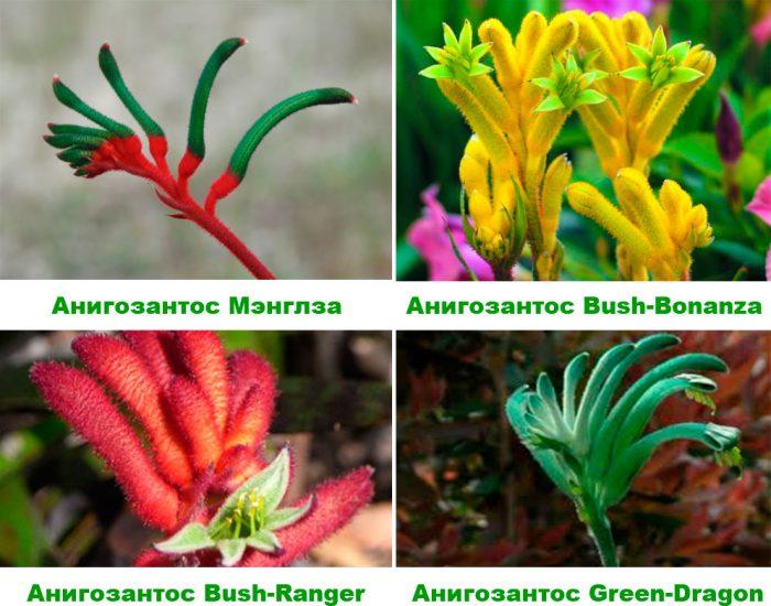 Анигозантос виды